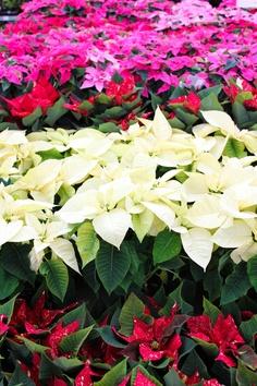 flor de pascua para decorar la navidad 2