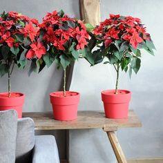 flor de pascua para decorar la navidad 3