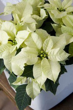 flor de pascua para decorar la navidad 4