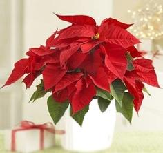 flor de pascua para decorar la navidad
